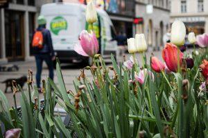 Tulpen - Fußgängerzone, München